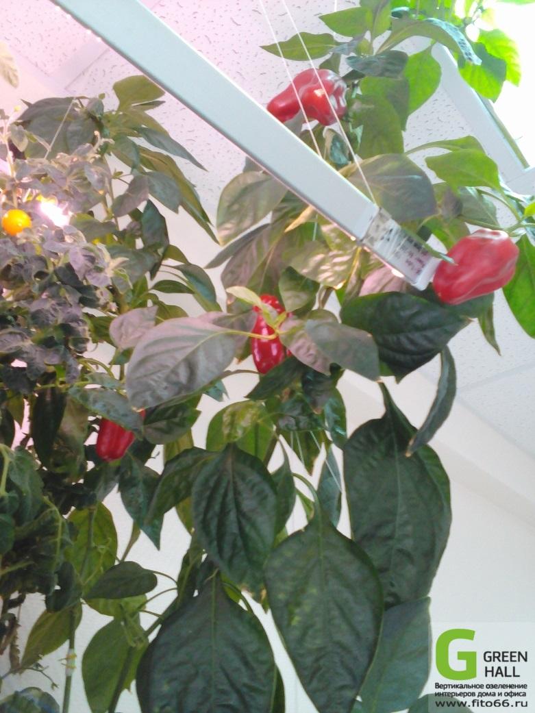 Овощи в фитостенке